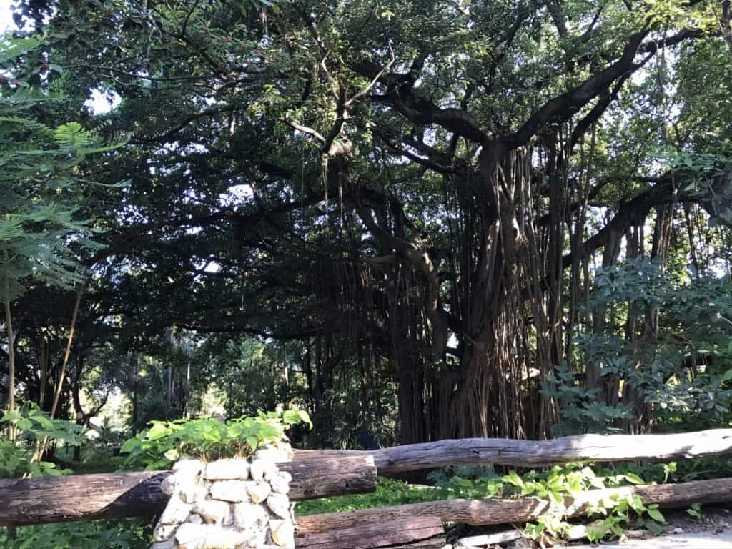 One Day Tour - Havana Forest, banyan tree