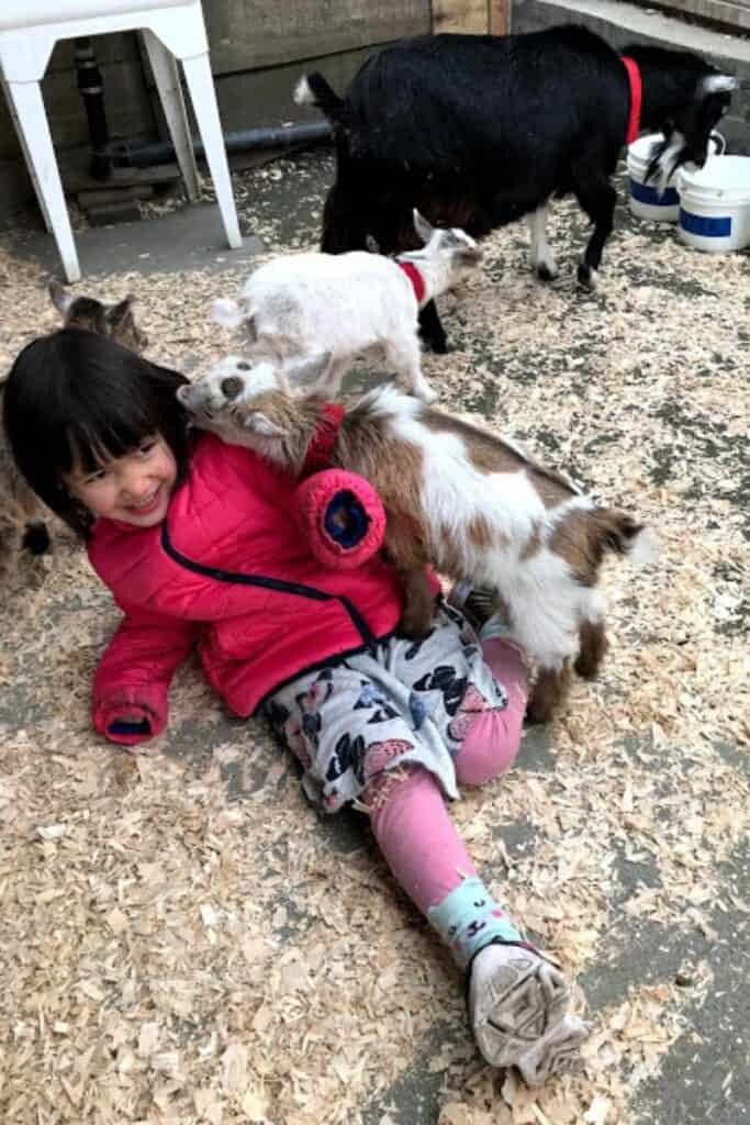 Young girl getting her hair nibbled by baby goats at the  Petting Zoo, Victoria, BC in Beacon Hill Park.