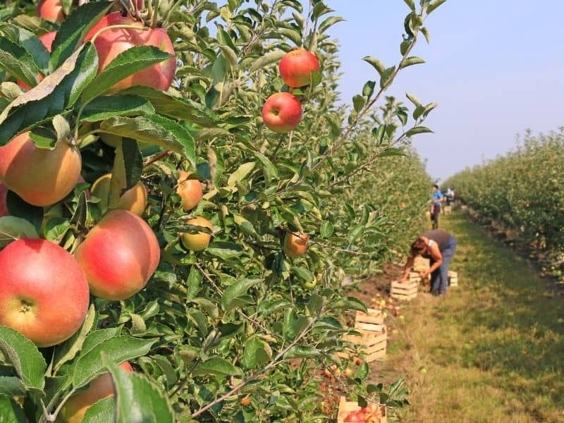 Apple picking along rows of apple trees in an orchard