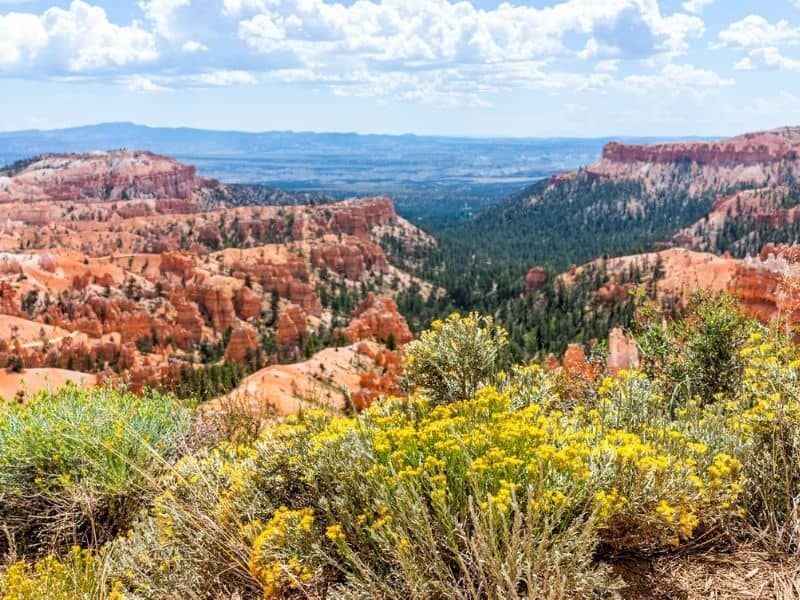 Sunset Point wildflowers overlooking  Bryce Canyon, and eroded rock formations.