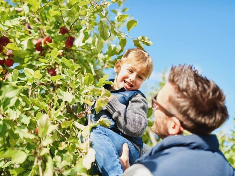 Dad holding young male child up to pick apples in an orchard