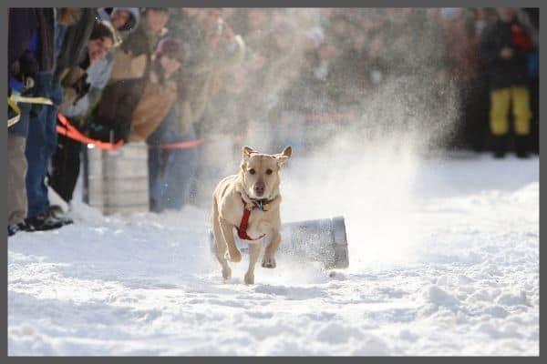 Sandpoint Winter Festival Dog K-9 Dog Pull